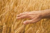 Farmer Hand In Wheat Field.