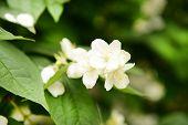 Beautiful jasmine flowers close-up