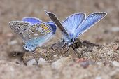 The Common Blue ,Polyommatus icarus