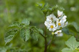 picture of solanum tuberosum  - White flowering Solanum tuberosum - JPG
