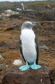 stock photo of booby  - Blue - JPG