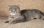 image of scottish-fold  - Scottish fold gray cat lying on brown couch - JPG