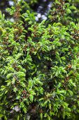 Conifer Branches. Tiny Cones And Young Light Green Shoots
