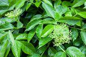 Flower Buds Of The Black Elder (sambucus)