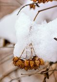 Snow On Seeds In Their Pods