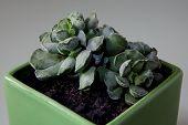 Crinkle-leaf Plant