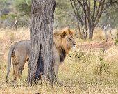 Lion, Serengeti National Park, Tanzania, Africa