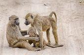 Baboons, Tarangire National Park, Tanzania, Africa.