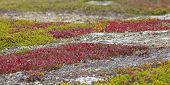 pic of bearberry  - Red bearberry surrounded by green leaves of crowberry - JPG