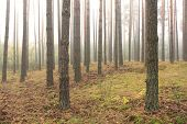 spruce forest, pinery, pine forest, pinet tree, fairy
