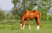 picture of chestnut horse  - chestnut golden horse grazing in summer time - JPG