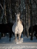 pic of wild horse running  - gray horse in winter forest running wild - JPG