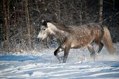 image of wild horse running  - gray horse in winter forest running wild - JPG