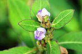 Da-Ann Hygrophila flowers