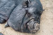pig sleeping black pig closeup portrait