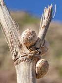 Snail shells on a stem