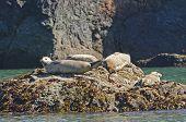 Harbor Seals Sunning On A Rock