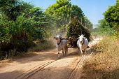picture of bull-riding  - Amazing rural landscape with two white oxen pulling cart with hay on dusty road and Asian man riding - JPG