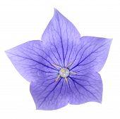 Platycodon Grandiflorus Flower