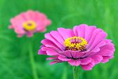 Pair Zinnia Flower