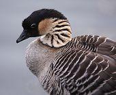 Hawaiian Goose (Nene)