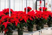 stock photo of poinsettia  - Poinsettia for sale at the local garden center.