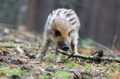 picture of wild hog  - Piglet of wild pig in the clearing - JPG