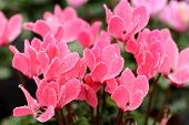 Colorful Pink Cyclamen Flowers