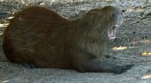 Capybara yawning