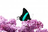 Beautiful butterfly sitting on lilac flowers, isolated on white