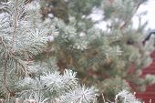 foto of fir  - Background with snow covered fir tree branches - JPG