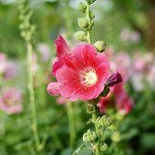 stock photo of hollyhock  - beautiful hollyhock flower or althaea flower in garden  - JPG