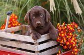 stock photo of chocolate lab  - Chocolate Labrador Retriever in a wooden crop box - JPG