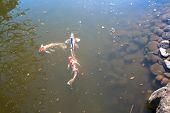 stock photo of koi  - Three bright koi swimming in the pond Tokyo - JPG
