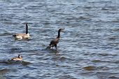 foto of crested duck  - Cormorant standing on a rock in the water of a small bay with a Canada Goose and a Mallard Duck swimming by - JPG