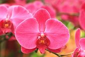 image of unique landscape  - Phalaenopsis,moth orchid flowers,beautiful red flowers in full bloom in the garden in spring,closeup