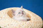 pic of masquerade  - Neva masquerade kitten isolated on blue background - JPG