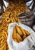 picture of corn cob close-up  - Wide angle shot of a barn full of corn cobs - JPG