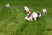 foto of puppy beagle  - Beagle puppies chasing and playing on the grass - JPG