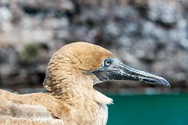 picture of boobies  - Closeup view of the face of a juvenile red footed booby on Genovesa Island in the Galapagos Islands in Ecuador  - JPG