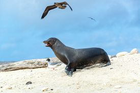 foto of boobies  - Sea lion with a Red Footed Booby overhead on Genovesa part of the Galapagos Islands - JPG