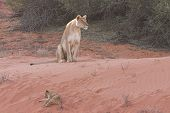 Lioness With Cubs2