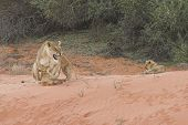Lioness With Cubs3