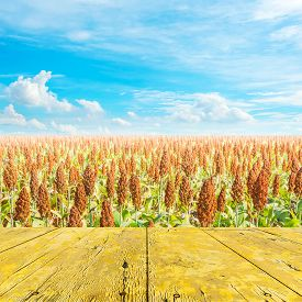 foto of sorghum  - image of sorghum field and clear blue sky for background usage - JPG
