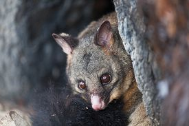 pic of possum  - Common Brushtail Possum  - JPG