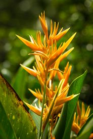 pic of heliconia  - Heliconia psittacorum also known as yellow tropical flower - JPG