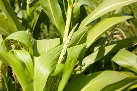 pic of millet  - Millet is used as food fodder and for producing alcoholic beverages - JPG