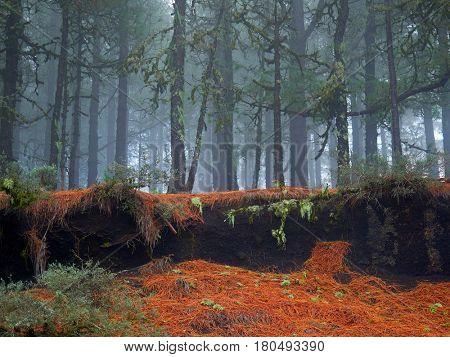 Gran Canaria Canary Islands pine
