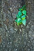 Little Pipal On Old Big Tree