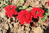 Red Flowers On A Dry Field